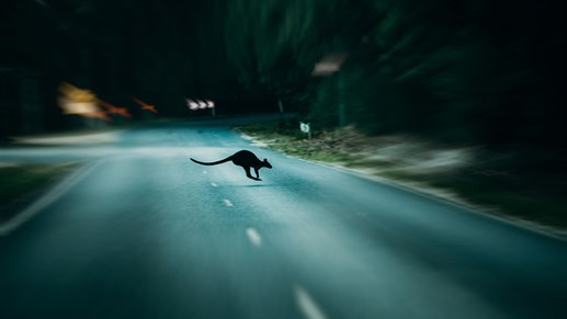 Kangaroo crossing the road at night in Australia