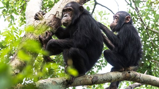 Gombe National Park Chimpanzees, Tanzania